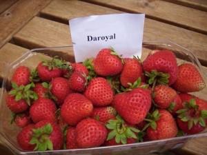 Erdbeere 2013 003