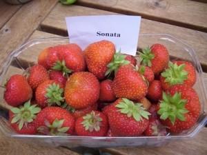Erdbeere 2013 006